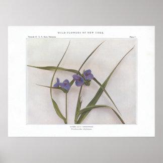 Lis d'araignée ; Spiderwort - virginiana de Poster