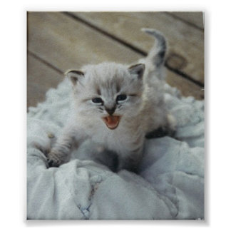 little baby kitten poster