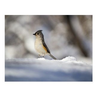 Little Bird in the Snow Postcard