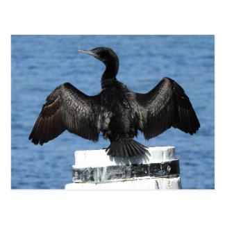 Little Black Cormorant Postcard