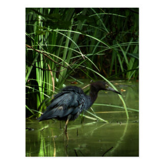 Little Blue Heron Postcard