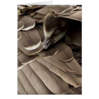 Little gosling all tucked in under mum's wing card