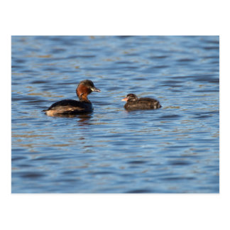 Little Grebe and Chick Postcard