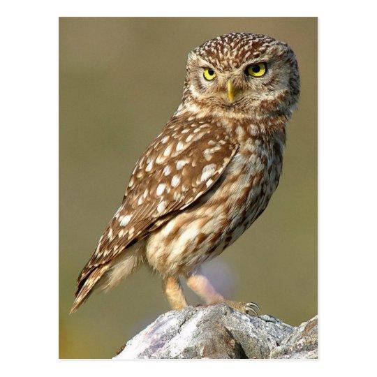 Little Owl (Athene noctua) Postcard
