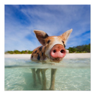 Little piglet poster
