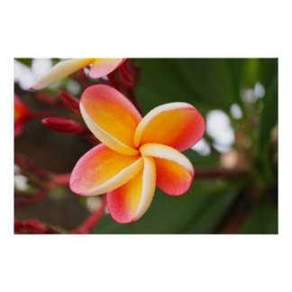 Little Red and Yellow Plumeria 4 Poster