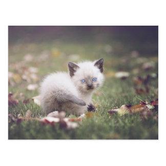 Little Siamese Kitten Postcard
