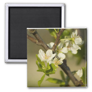 Little white flowers on a branch with green leafs square magnet