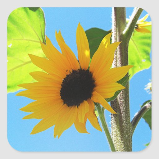 Little Yellow Sunflower Square Stickers