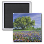 Live Oak & Texas Paintbrush, and Texas Refrigerator Magnet