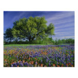 Live Oak & Texas Paintbrush, and Texas Poster