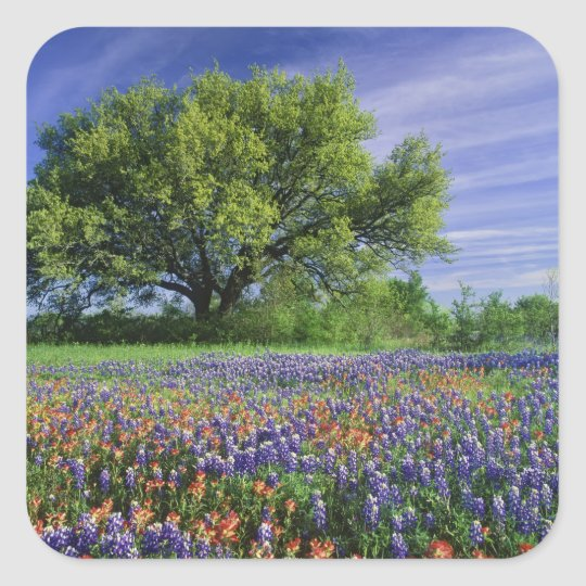 Live Oak & Texas Paintbrush, and Texas Square Sticker