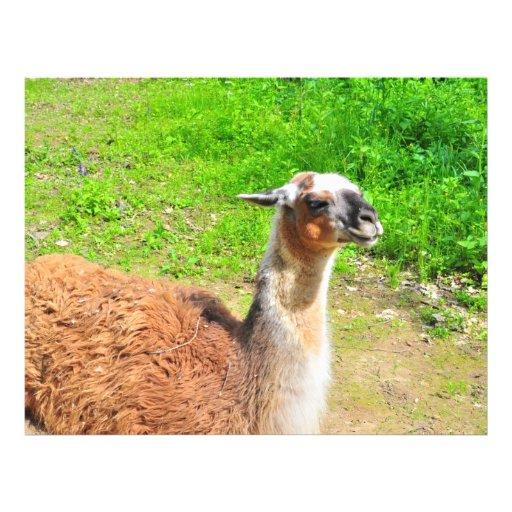 Llama Personalized Flyer
