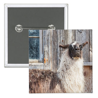 Llama in front of a barn 2 inch square button