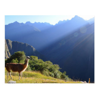 Llama in the Andes Postcard