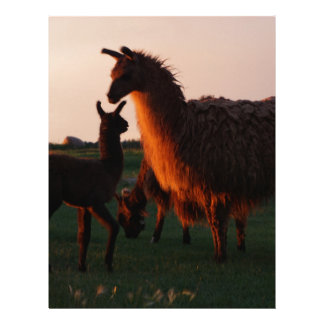 Llama mother and baby at sunset letterhead template
