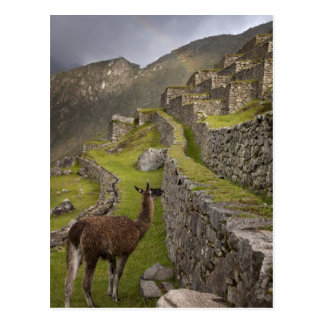 Llama stands on agricultural terraces with postcard