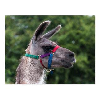Llama Superiority Postcard