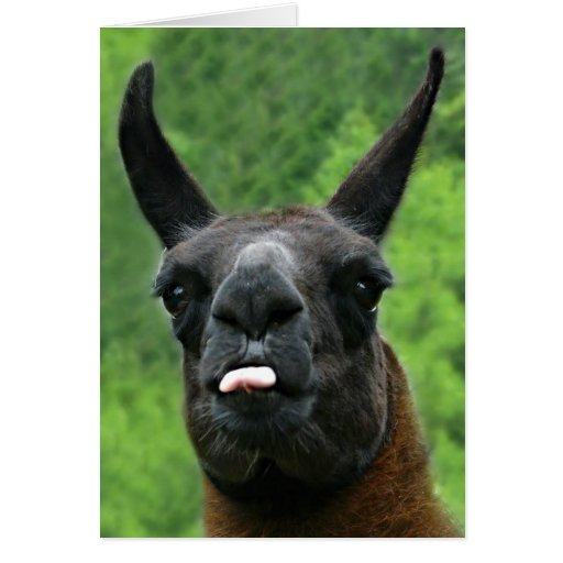Llama with Attitude - Sticking out Tongue Photo Cards