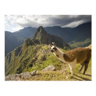 LLamas and an over look of Machu Picchu, Postcard