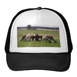 Llamas enjoying fresh spring pasture trucker hat