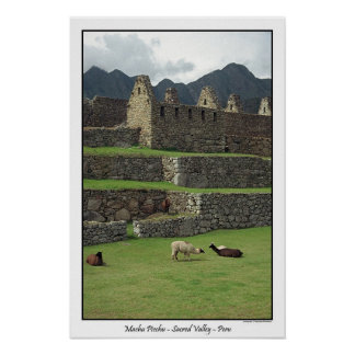 Llamas of Machu Picchu  Peru Poster