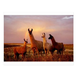 Llamas with a rainbow sky postcard