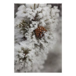 Lodgepole Pine cone in winter in Yellowstone Poster