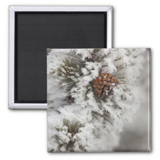 Lodgepole Pine cone in winter in Yellowstone Square Magnet