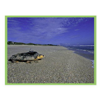 Loggerhead Sea Turtle at Archie Carr National Wild Postcard