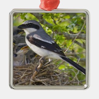 Loggerhead Shrike Lanius ludovicianus) adult Metal Ornament