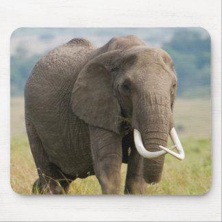 Lone Elephant (Loxodonta Africana) Feeds Mouse Pad