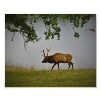 Lone Elk Photo Print