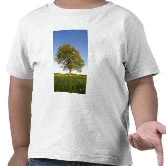Lone maple tree in hay field at Raymond Farm, Shirts