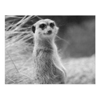 """Lone Meerkat"" Postcard"