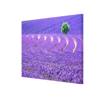 Lone tree in Lavender Field, France Canvas Print