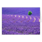 Lone tree in Lavender Field, France Card