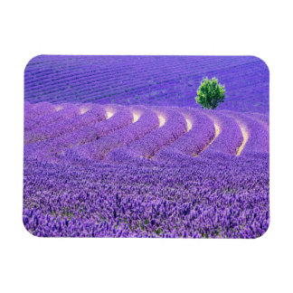 Lone tree in Lavender Field, France Magnet
