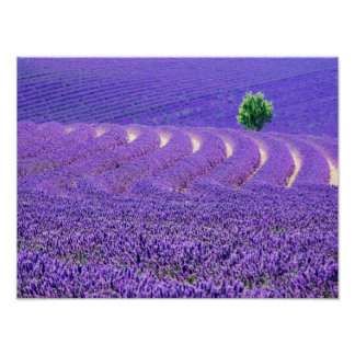 Lone tree in Lavender Field, France Poster