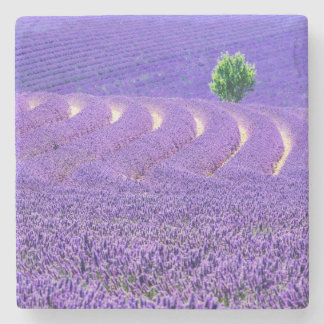 Lone tree in Lavender Field, France Stone Coaster