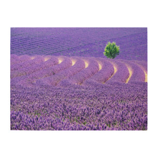 Lone tree in Lavender Field, France Wood Print
