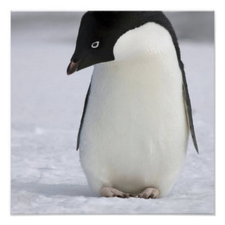 Lonely Penguin Poster