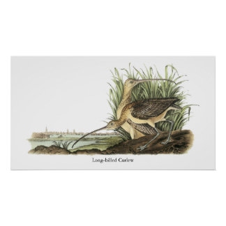 Long-billed Curlew, John Audubon Poster
