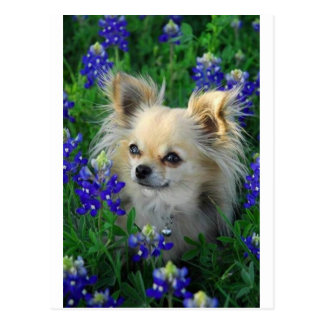 Long Coat Chihuahua in Blue Bonnets Post Cards