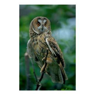 Long-eared owl (Asio otus) sits on branch, Poster