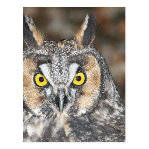 Long-eared Owl Post Card