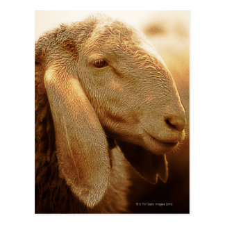 Long Eared Sheep Dolomites, Italy Postcard