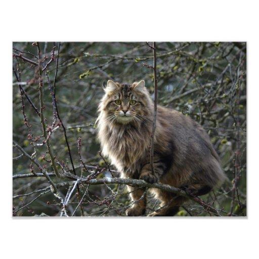 Long-hair Tabby Cat Animal Pet Photo Print