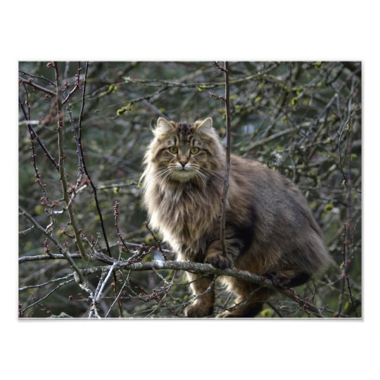Long-hair Tabby Cat Animal Pet Photo Print