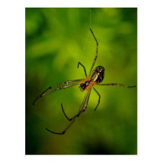 Long-jawed Orb Weaver Spider Postcard
